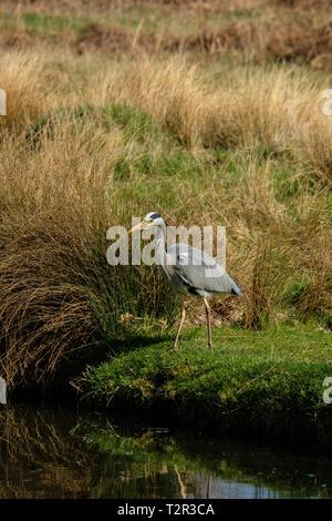 Grey Heron Ardea cinerea standing on river bank Bushy Park Hampton London England - Stock Photo