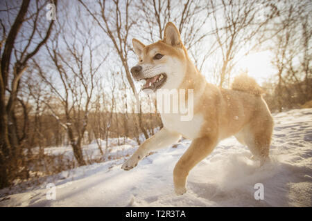 Porait of Dog. Dog runs on the snow ground in the forest - Stock Photo