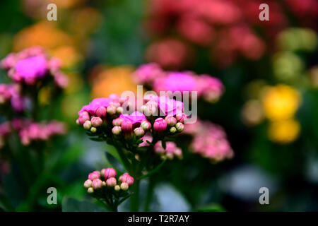 Deep pink Kalanchoe blossfeldiana flowers, isolated with a blurred background in Colombia, South America. - Stock Photo