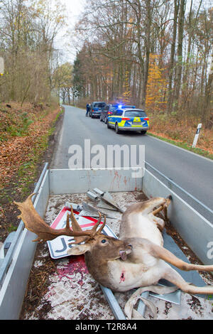 Roadkill fallow deer (Dama dama) in pickup truck. Stag killed by traffic after collision with car while crossing busy road - Stock Photo