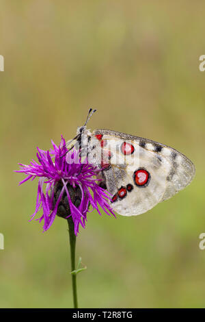 Apollofalter, Parnassius apollo, mountain Apollo - Stock Photo