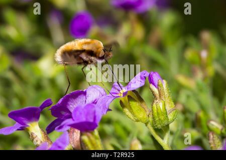 Grosser Wollschweber, Bombylius major, bee fly - Stock Photo