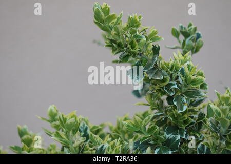 wintercreeper or fortune's spindle - Euonymus fortunei - Stock Photo