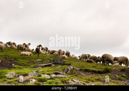 Flock of sheep grazing on green mountain slope in misty day, Carpathian Mountains, Romania. - Stock Photo