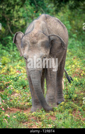 Deep inside Udawalawe National Park in the Southern Province of Sri Lanka, a playful baby Elephant learns from another member of the herd. - Stock Photo