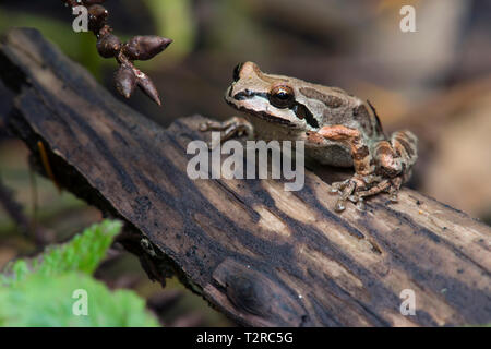 Blending in with its surroundings in an amazing way, a Pacfic Chorus Frog prepares to leap into deeper cover. - Stock Photo