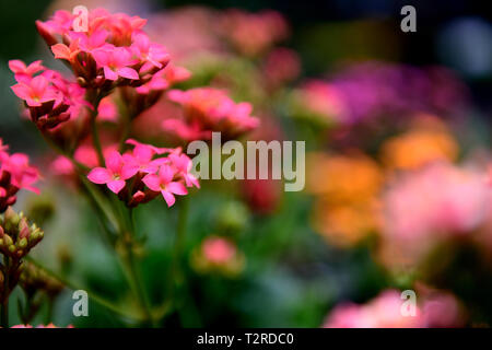 Pink Kalanchoe blossfeldiana flowers, isolated with a blurred background in Colombia, South America. - Stock Photo