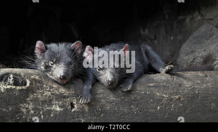 Two sleepy young Tasmanian Devils relaxing on a log - Stock Photo