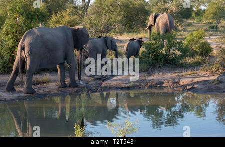 Herd of elephants reflected in the water at a waterhole in Sabi Sands Game Reserve, South Africa. Photo taken in the early morning. - Stock Photo
