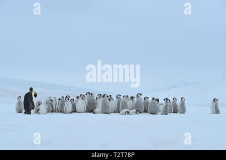 Emperor penguins, Aptenodytes forsteri, Group of Chicks with one Adult, Snow Hill Island, Antartic Peninsula, Antarctica - Stock Photo