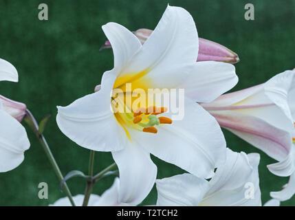 Regal Lily, Lilium regale
