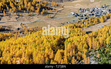 Italy, Aosta Valley, Gran Paradiso National Park, Rhemes Valley, European larches forest in autumn and Swiss stone pine (Pinus cembra), Rhemes-Notre-Dame alpine village - Stock Photo
