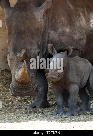 Ramat Gan, Israel. 3rd Apr, 2019. The newly born female southern white rhinoceros and its mother are seen at the Safari Park in Ramat Gan, Israel, April 3, 2019. Credit: JINI/Gideon Markowicz/Xinhua/Alamy Live News - Stock Photo