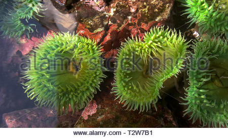 close up view of two giant green anenome in a tide pool - Stock Photo