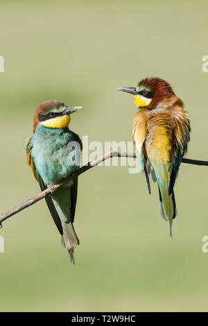 Male (right) and female (left)  European bee-eaters, Latin name Merops apiaster,  perched on a branch in warm lighting - Stock Photo