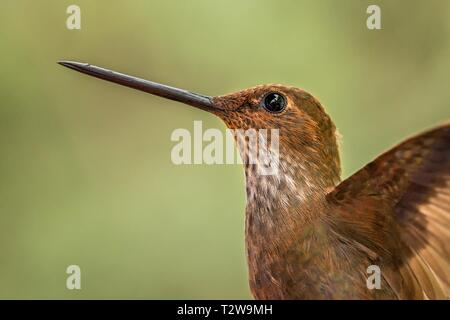 Bronzy inca, hummingbird from tropical forest,Colombia,close up bird portrait,clear colorful background,nature,wildlife, exotic birding adventure - Stock Photo