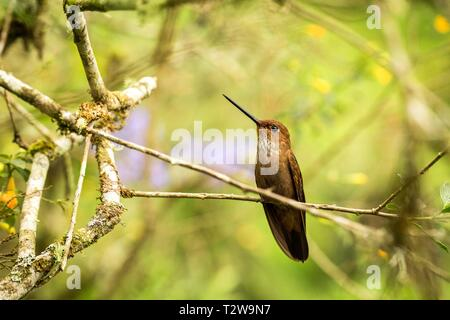 Bronzy inca sitting on branch, hummingbird from tropical forest,Colombia,bird perching,tiny bird resting in rainforest,clear colorful background,natur - Stock Photo