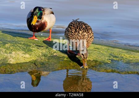Male and female Mallard, Anas platyrhynchos feeding by seashore. Focus on the female bird. - Stock Photo