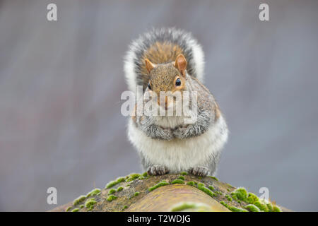 Detailed close-up front view of single grey squirrel (Sciurus carolinensis) sitting isolated on ridge tiles of a house roof, looking cute, arms folded. - Stock Photo