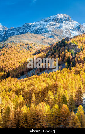 Italy, Aosta Valley, Gran Paradiso National Park, Rhemes Valley, European larches (Larix decidua) forest in autumn - Stock Photo