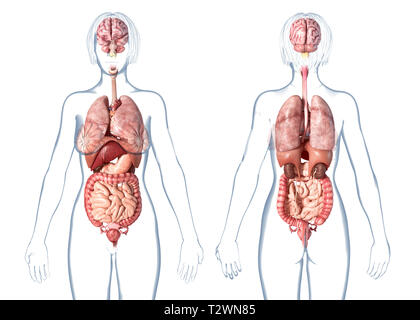 Woman anatomy internal organs, rear and front views. On white background. - Stock Photo
