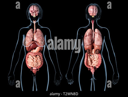 Woman anatomy internal organs, rear and front views. On black background. - Stock Photo