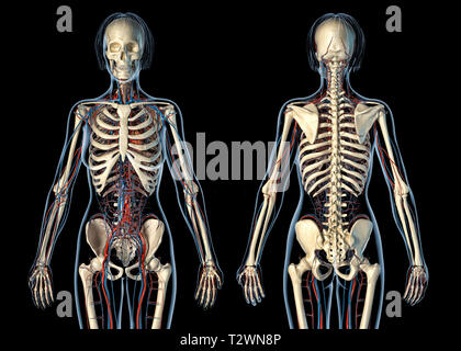 Woman anatomy cardiovascular system with skeleton, rear and front views. On black background. - Stock Photo
