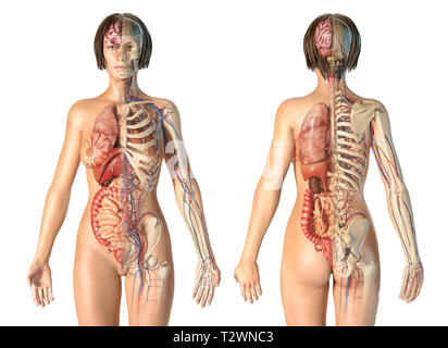 Woman anatomy cardiovascular system with skeleton and internal organs, rear and front views. - Stock Photo