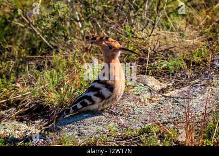 A young bird hoopoe sits on a stone. Upupa epops - Stock Photo