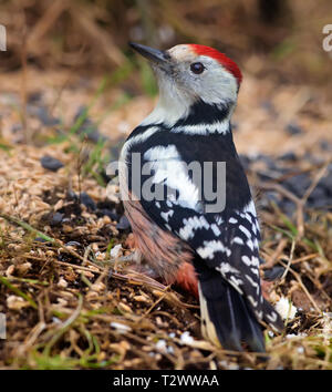 Middle Spotted Woodpecker sitting on the ground near a feeder in the forest - Stock Photo
