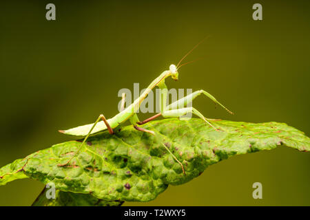 African lined mantis (Sphodromantis lineola) or African praying mantis, is a species of praying mantis from Africa - closeup with selective focus. - Stock Photo