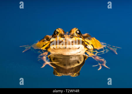 Common European frog (Pelophylax kl. esculentus), also known as the common water frog, green frog or edible frog. - Stock Photo