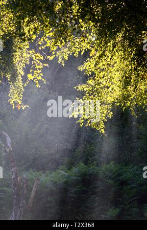 Rays of Sunlight in Smoky Air by Backlit Silver Birch Tree Foliage. Spitchwick Common, Dartmoor National Park, Devon, UK. - Stock Photo