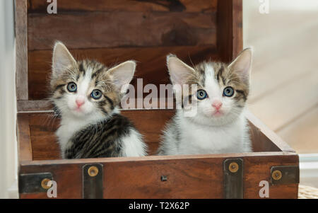 Two cute baby cat kittens, tabby with white, sitting together side by side in a little wooden box and watching curiously with wide eyes - Stock Photo
