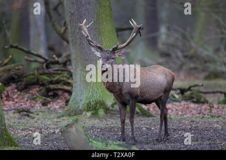 Rothirsch - Maennchen, Cervus elaphus, red deer - male - Stock Photo