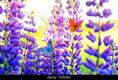 natural background with beautiful two butterflies pigeon orange and blue sitting in the summer garden on a bright lilac and purple lupine flowers on a - Stock Photo
