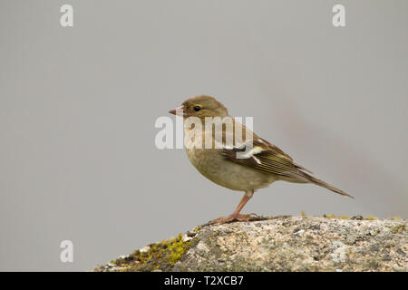 Chaffinch, Fringilla coelebs, single adult female perched on rock. Aviemore, Scotland, UK. - Stock Photo
