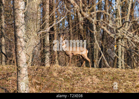 Buck deer with large horn in the woods - Stock Photo