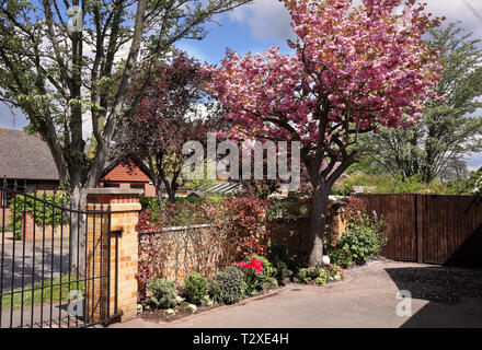 English front garden in Spring with tree covered in pink cherry blossom - Stock Photo