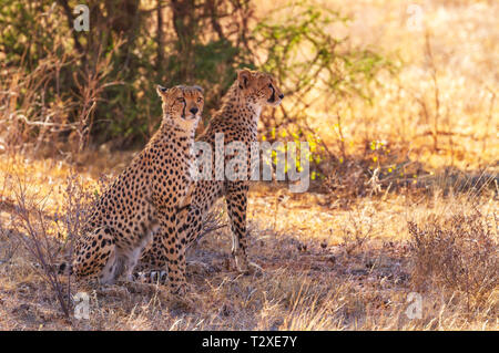 Two spotted cheetah, cheetahs, acinonyx jubatus, sitting in shade in dry scrub looking for prey. Samburu National Reserve, Kenya, Africa - Stock Photo