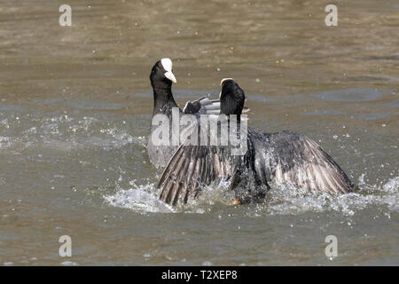 Action shot of two common coots (fulica atra) fighting in a lake with feather details and water spray clearly seen. - Stock Photo