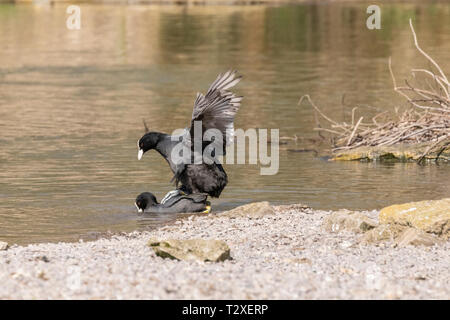 Action shot of two common coots (fulica atra) mating in a lake near the shore with feather details clearly seen. - Stock Photo