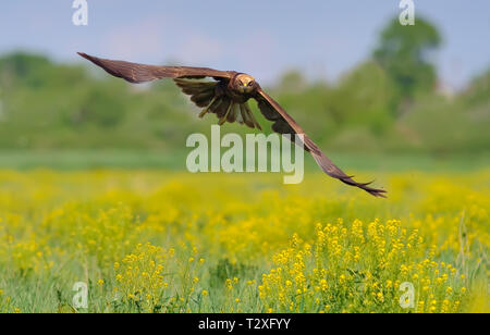 Western Marsh Harrier flying over the blossoming field - Stock Photo