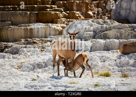 Elk calf and mother feeding in the terraces of Mammoth Hot Springs in Yellowstone National Park - Stock Photo