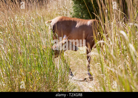 Elk calf crossing a trail near it's mother at Mammoth Hot Springs in Yellowstone National Park - Stock Photo