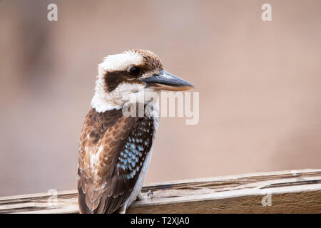 Australian native Kookaburra sitting on a backyard perch - Stock Photo