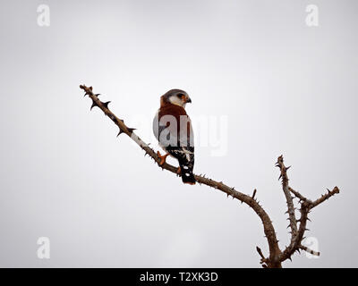 portrait of tiny female pygmy falcon (Polihierax semitorquatus) perched on bare thorny branch in the Galana Conservancy, Kenya, Africa - Stock Photo