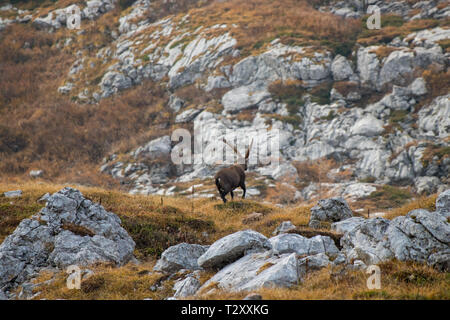 mighty alpine ibex in Bohinj mountains - Stock Photo