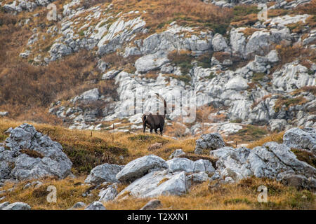 mighty alpine ibex in mountains - Stock Photo