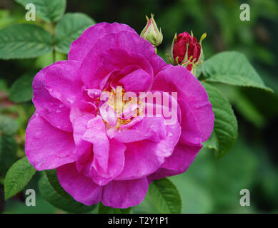 Rosa Gallica Officinalis or  Apothecary's Rose in Chelsea Physic Garden with large, semi-double, fuchsia flowers and a pure Old Rose scent. - Stock Photo